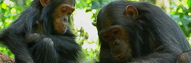chimpanzees-socializing